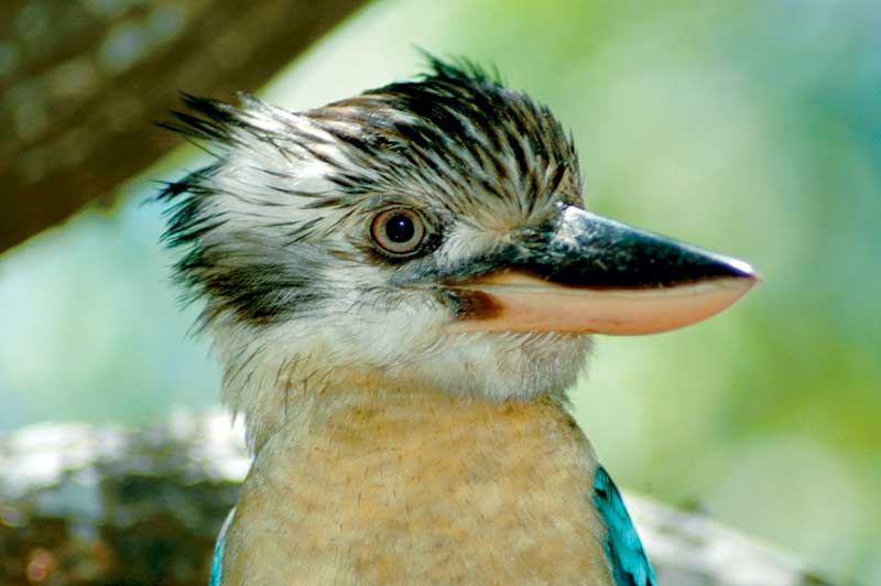 A very friendly blue-winged kookaburra pays a visit to the West Alligator Head campsite.