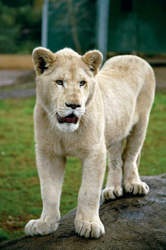 A proud White Lion at her Mogo Zoo home. Image by Xavier Jefferson