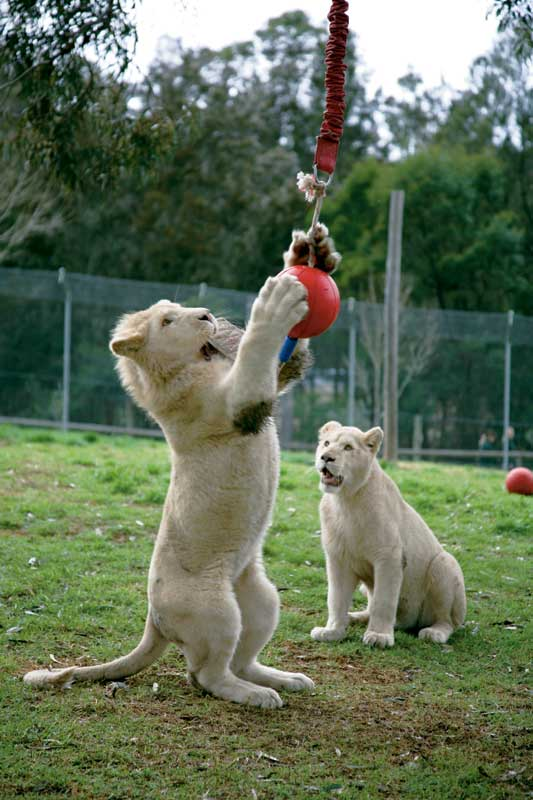 Play time for the Mogo Zoo White Lions.  Image by Xavier Jefferson