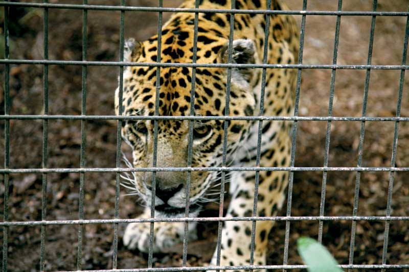 A Mogo Zoo leopard. Image by Xavier Jefferson