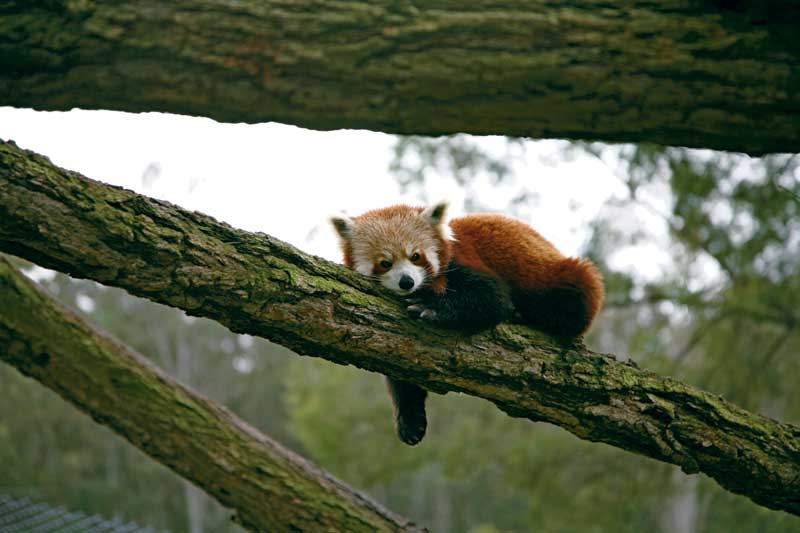 A Mogo Zoo Red Panda just chilling on a branch. Image by Xavier Jefferson