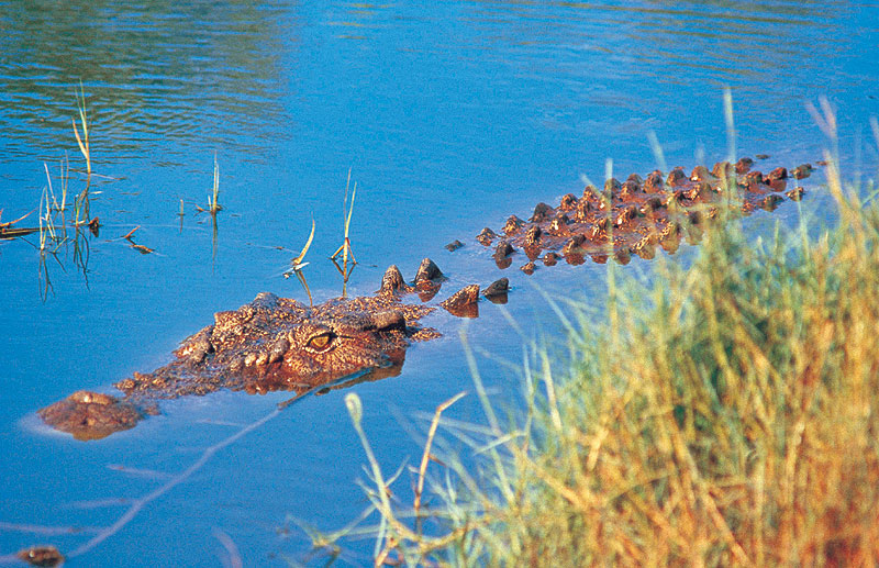 Lurking Crocodiles among the muddy mangroves.