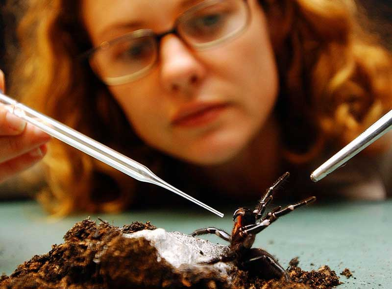 Milking the world's deadliest spider. Image by Australian Reptile Zoo