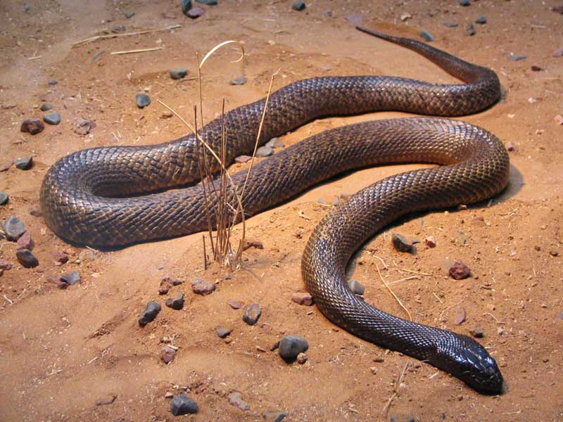 Face the most venomous snake on its own turf. Image by Tourism Australia