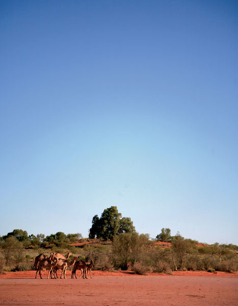Wild camels at Uluru, Northern Territory