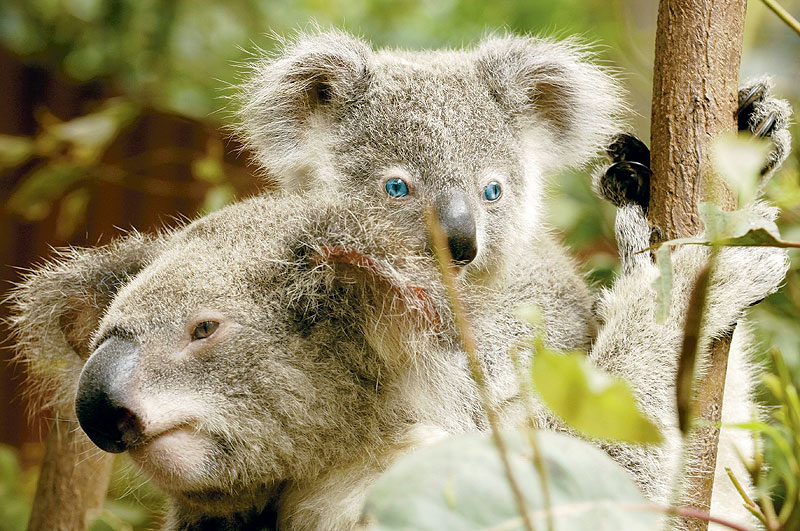 Cuddle a blue-eyed genetic wonder. Image by Dreamworld