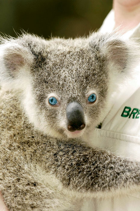 Old Blue Eyes, Frankie the Koala, goes in for a cuddle. Image by Dreamworld