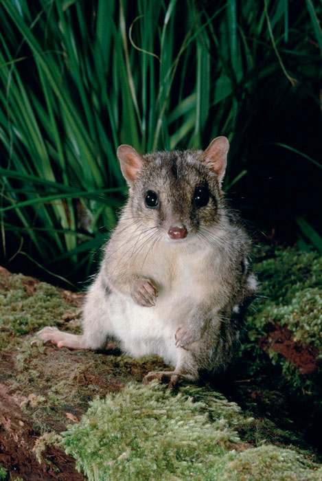Rock'n'roll with a Northern Quoll. Image by WWF, Viewfinder