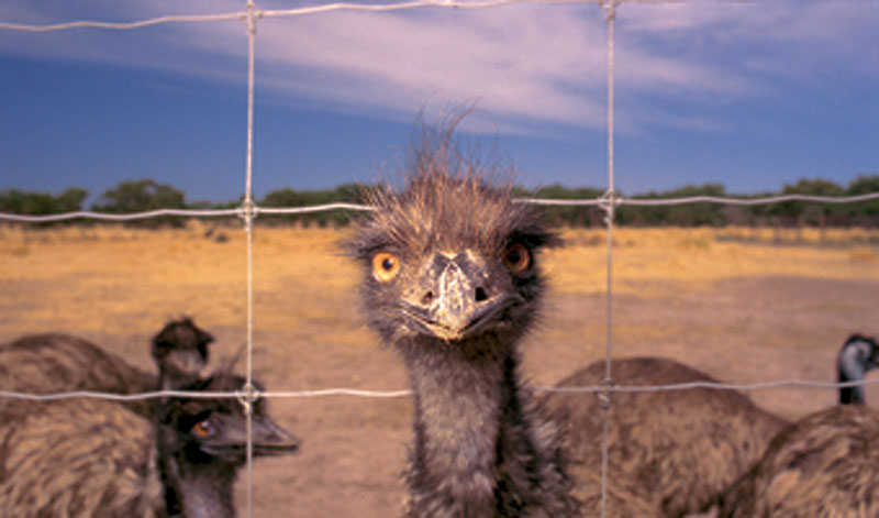 Pace with an emu in its own backyard. Image by Tourism SA