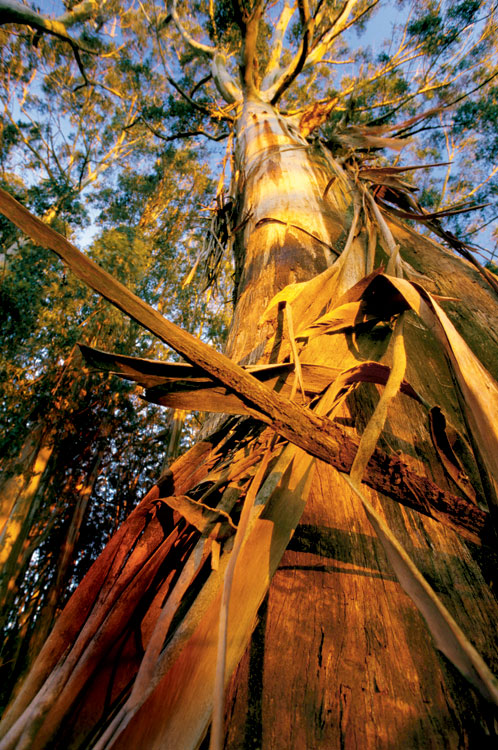 By gum, it's the world's largest red gum forest on the Murray. Image by Tourism Victoria
