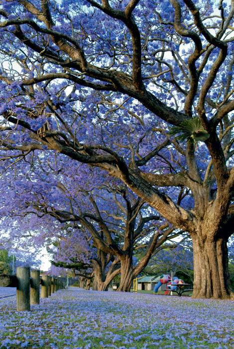 Swirl in purple blossoms with the Jacaranda Queen.