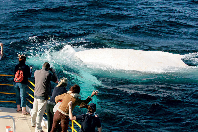 Wave to the world's only white whale, Migaloo: Image by Newspix