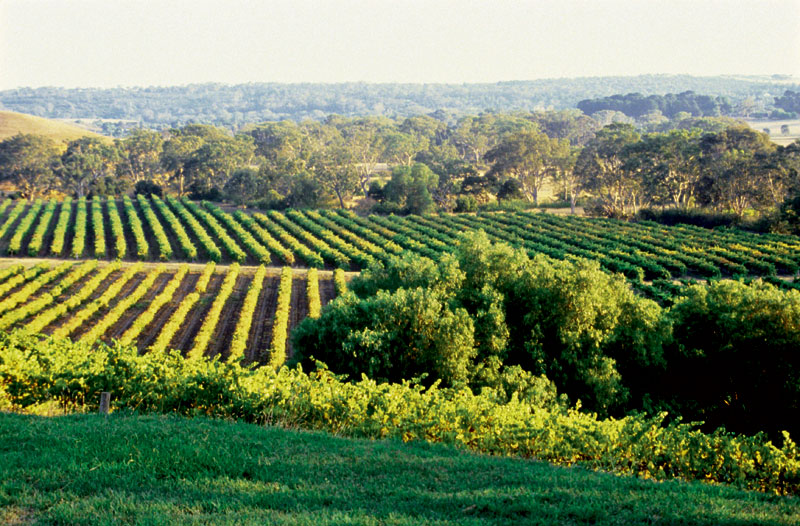The vines of Jindalee Estate. Image by Tourism VIC