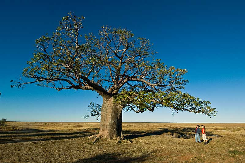 The distinctive shape of Adansonia gregoril - or boab. - WA Tourism