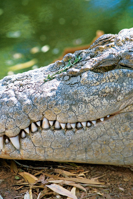 Salt-water crocs are the Kings of the Kimberleys. Image by David Bristow