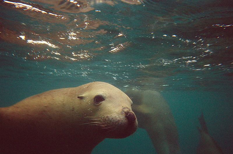 A curious sea lion comes up to play with our writer. Image by Sol Walkling