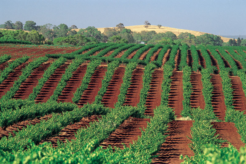 Vineyards along the Barossa Valley Way. Image by Tourism SA