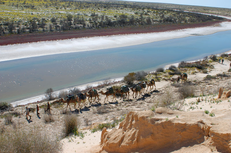 The caravan strolls along the banks of Kallakoopah Creek. Image by Outback Camel Company