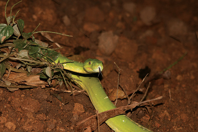 Green Python of Cape York. Image by Wilderness Challenge