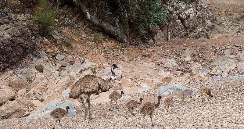 Wild Emus in the Flinders. Image by Grenville Turner