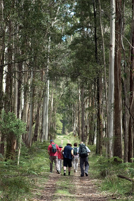Delve deep into the tall gums. Image by Bothfeet Walking Tours