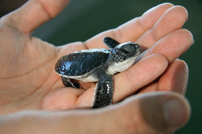 Another Kimberley attraction, turtle hatchlings. Image by Kimberley Wild Expeditions