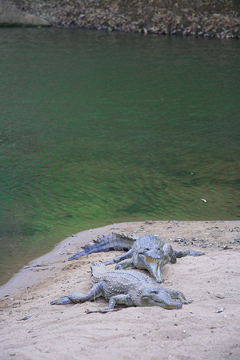 Crocs waiting to say hi to some tasty tourists. Image by Kimberley Wild Expeditions