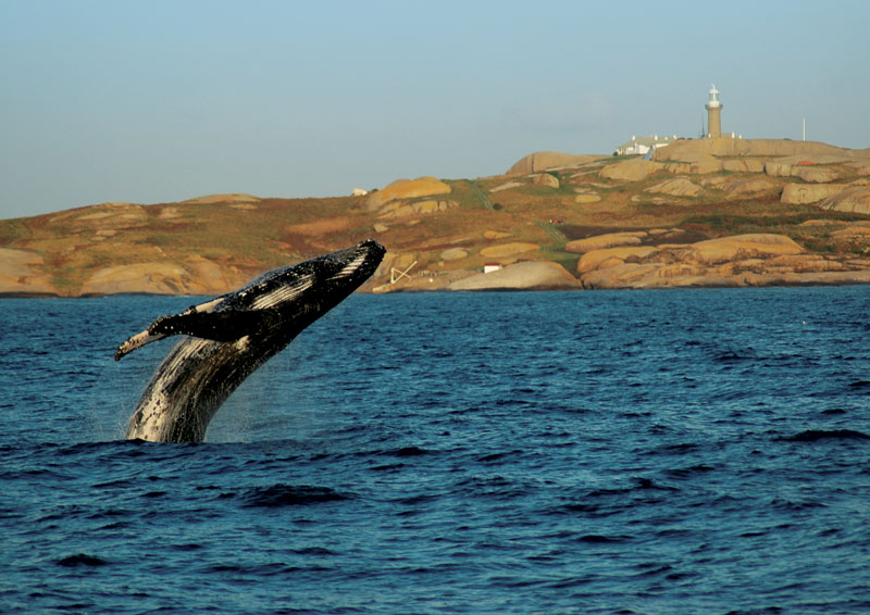 A humpback breaches the surface in the shadow of Montague Island. Image by Montague Island Tours
