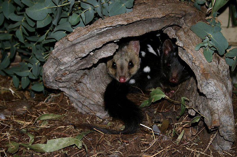 A couple of quolls feelin' right at home. Image by Tourism Tasmania