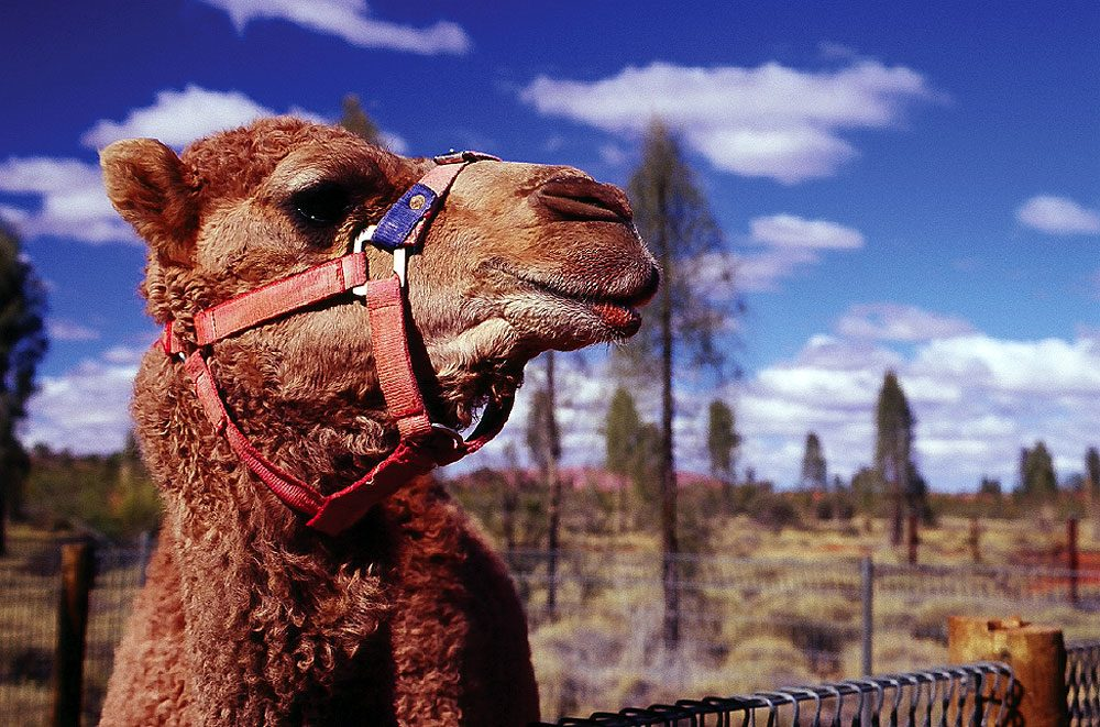 A camel named Orphan at Uluru (Photo: Ruth Rickard)