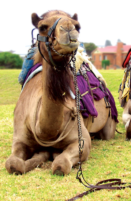 Short and long camel rides are a favourite with families -- image by Leanne Nelson