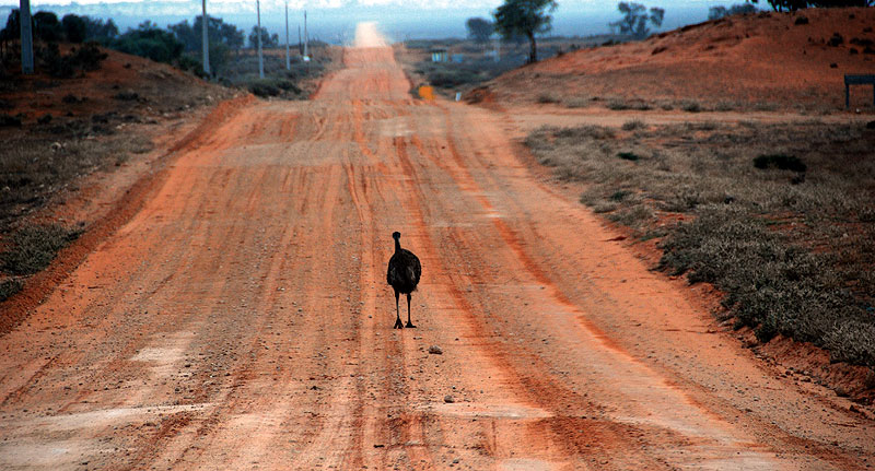 Road to nowhere . . . a lone emu contemplates the long journey home along the dusty roads near Balranald. Image by Dirk Spennemann