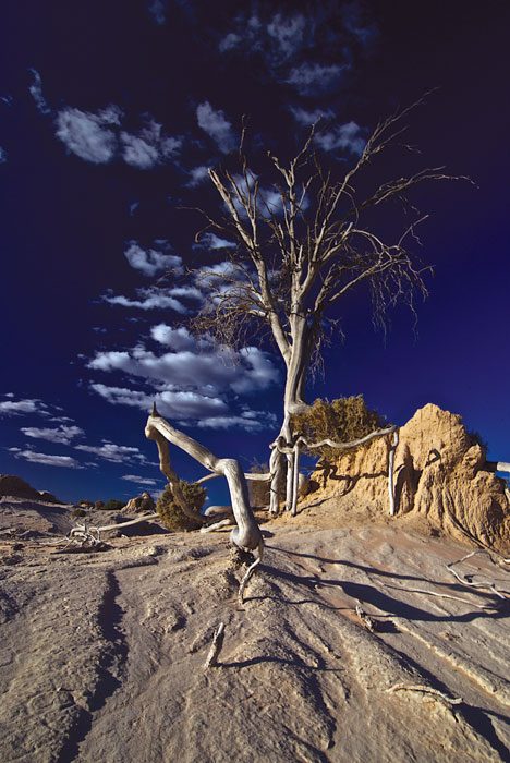 Ghostly, skeletal trees dotting the landscape at Mungo make for perfect photographic subjects. Image by Dirk Spennemann