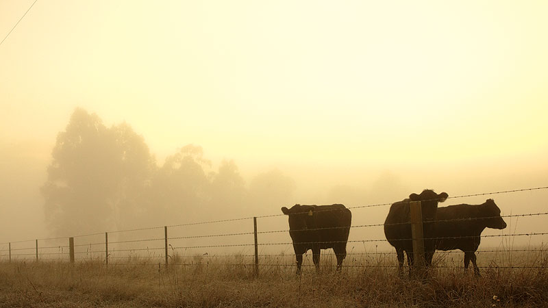 A foggy morning southwest of Bright, when just the cows (and photographers) are awake. Image by Ewen Bell