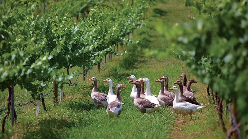 Ducks among the shiraz vines at Milawa. Image by Ewen Bell