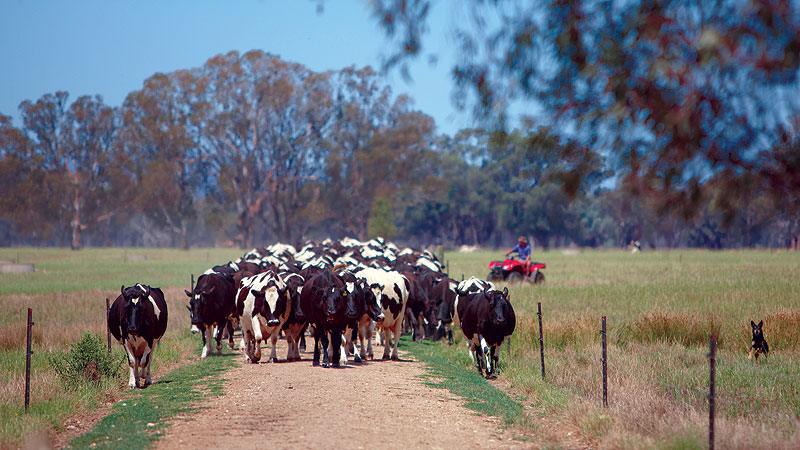 Herding cattle outside Milawa. Image by Ewen Bell