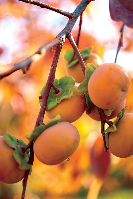 Plump persimmons from Mary's orchard in Whorouly. Image by Ewen Bell