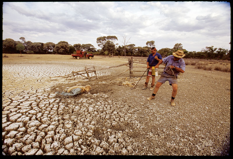 Rescuing sheep from drying dams is a daily activity for these farmers. Photograph by Darren Clark.