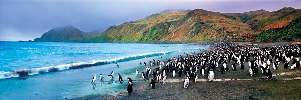 A Royal Gathering of penguins deep in the Great Southern Ocean on Macquarie Island