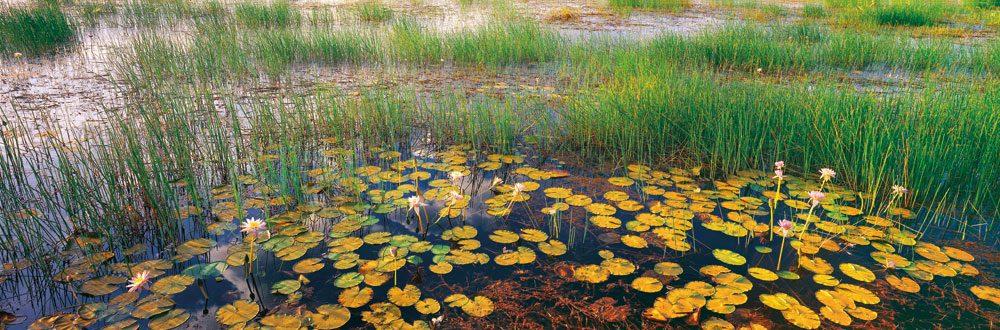 Oenpelli Lilies, NT, in a billabong in Arnhem Land