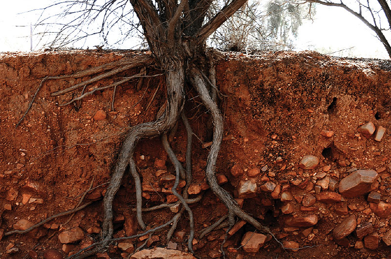 The roots of a desert bloodwood search for water in the dry earth of Central Australia.