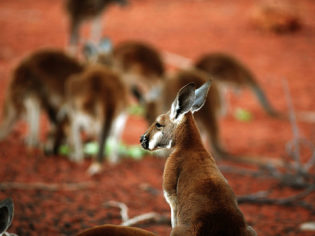Kangaroos at the Alice Springs Desert Park
