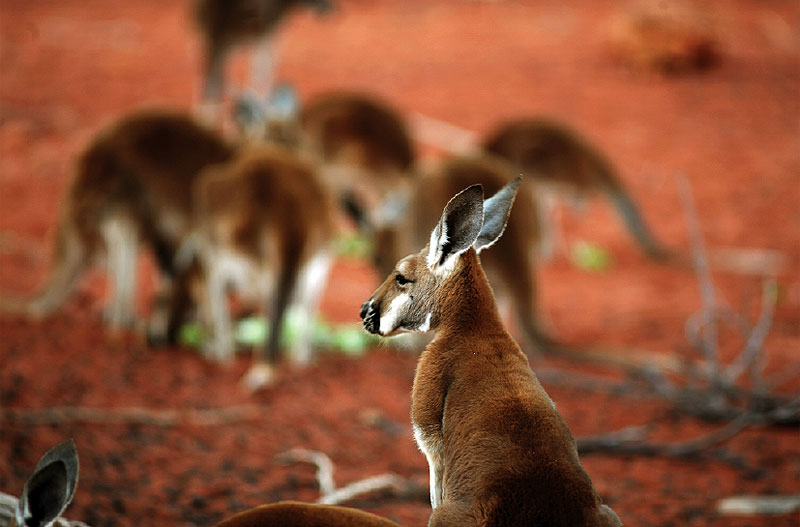 Aside from a source of food and clothing, roos were also used to help find valuable water caches.