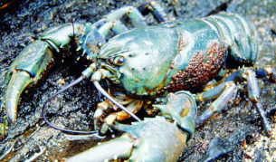The world's largest freshwater crayfish (Astacopsis gouldi) is an endangered species found in Tasmania. It can weigh in excess of 5kg.
