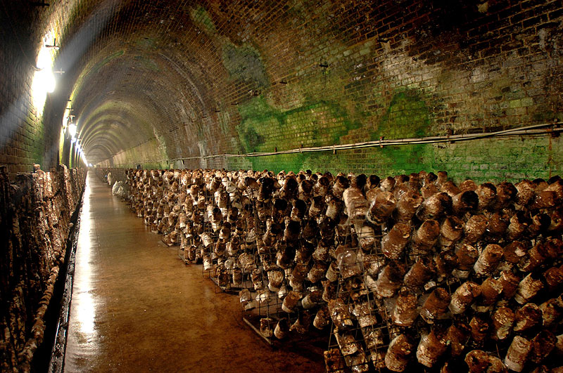 More than 1.5 tonnes of mushroom are harvested every week from a crop that runs for 650m along the tunnel built in 1866.