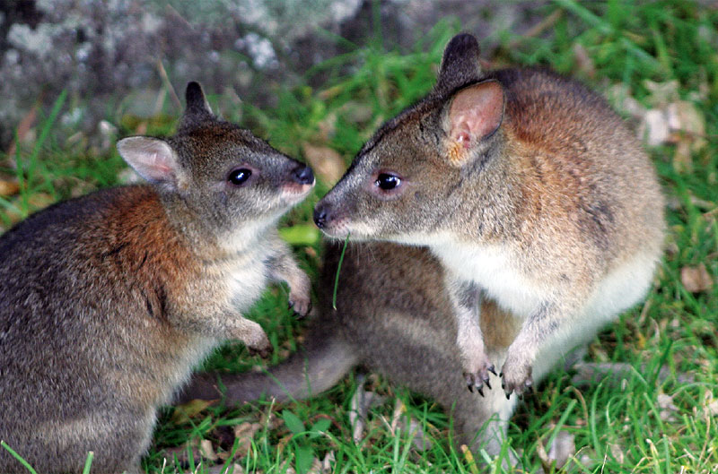 My Habitat Highly Commended Pademelon and baby by Eileen Roche I captured this intimate moment between a pademelon and her joey while taking a late afternoon stroll on one of the many walking tracks at O'Reilly's Rainforest Retreat, Lamington NP