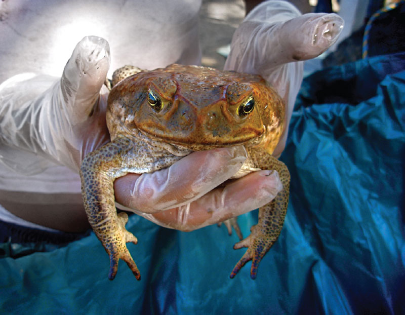 Look into the eyes of an icky, relentless, super cane toad.