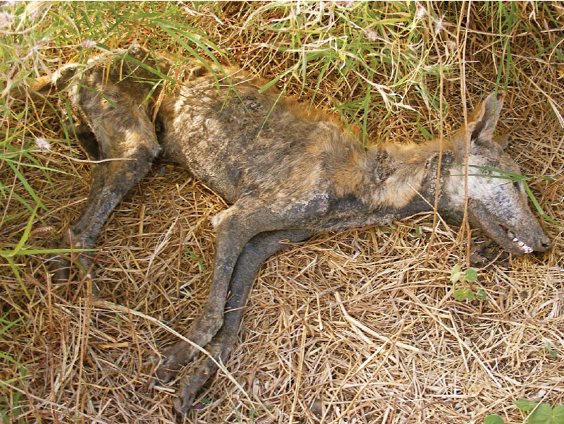What happens to a dingo after it dines of a cane toad