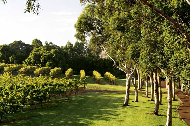 Or the vines of the area like these at Vasse Felix