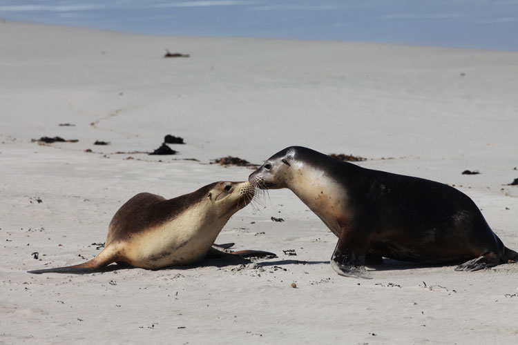 Australian fur seals greet each other at Seal Bay
